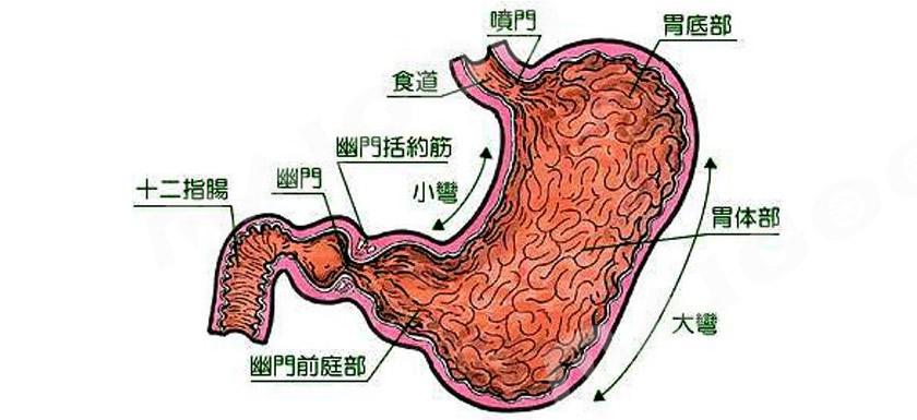 胃在哪个位置图 胃的位置图 胃的结构图